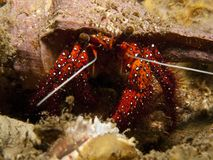 螃蟹dardanus隐士megistos察觉白色 免版税图库摄影