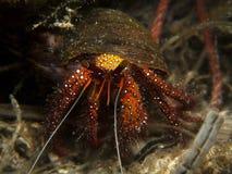螃蟹dardanus隐士megistos sopt白色 免版税库存照片