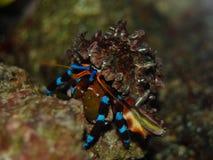 螃蟹diogenes 图库摄影