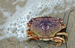 螃蟹dungeness 图库摄影