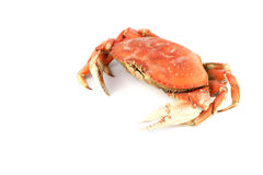 螃蟹dungeness 库存图片