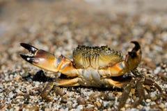 螃蟹eriphia石头verrucosa 免版税库存照片