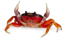 螃蟹gecarcinus地产quadratus红色 免版税库存图片