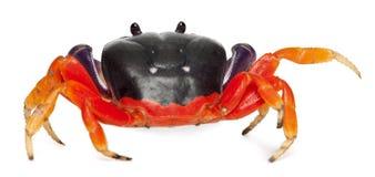 螃蟹gecarcinus地产quadratus红色 库存照片
