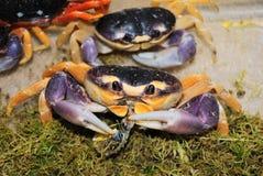 螃蟹hallowin 库存图片