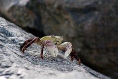 螃蟹leptograpsus紫色岩石variegatus 免版税库存照片