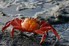 螃蟹lightfoot突围 库存图片