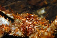 螃蟹lithodes穿着俗艳的美女北石头 免版税库存照片
