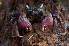 螃蟹monas 免版税库存照片