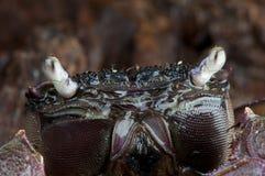 螃蟹monas 免版税图库摄影