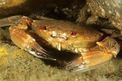 螃蟹polybius puber天鹅绒 库存图片