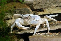 螃蟹potamon河sp 库存图片