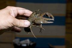 螯虾属jokirapu 库存照片