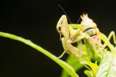 螳螂一只掠食性昆虫,可怕与它的raptori 图库摄影