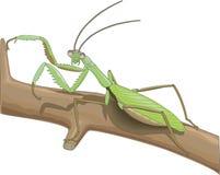 螳螂传染媒介例证 向量例证