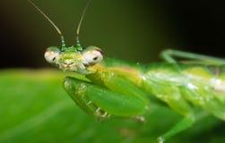 螳螂伪装宏观照片在绿色叶子,在头的选择聚焦的 免版税库存照片