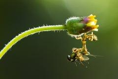 螳螂吃 库存照片