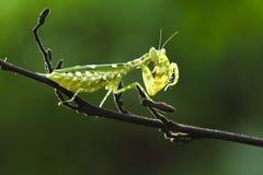 螳螂吃 图库摄影