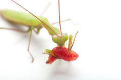 螳螂吃 免版税库存照片