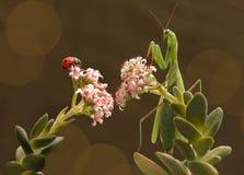 螳螂和瓢虫 库存照片