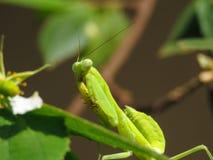 螳螂在树顶部 免版税库存图片