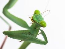 螳螂在白色背景的hierodula membranacea 免版税库存照片