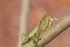 螳螂坐一条干燥道路 免版税库存照片