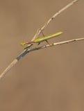 螳螂坐一条干燥道路 库存图片