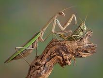 螳螂感人的跳跃者 库存照片