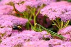 螳螂掠食性动物 免版税图库摄影