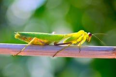 螳螂昆虫特写镜头宏指令 库存照片