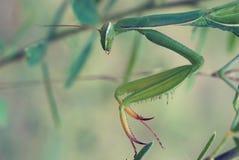 螳螂特写镜头在自然环境里 库存图片