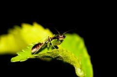 螳螂祈祷微小 库存照片