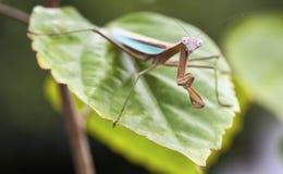 螳螂祈祷的隔离 免版税库存照片