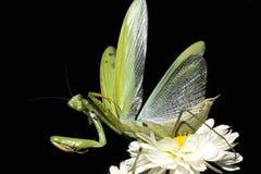螳螂祈祷的religiosa 库存图片