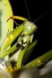 螳螂祈祷的religiosa 免版税图库摄影