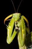 螳螂祈祷的religiosa 免版税库存照片