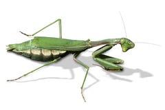 螳螂祈祷的religiosa 免版税库存图片