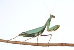螳螂祈祷 图库摄影