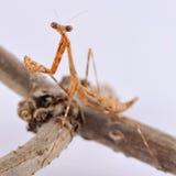 螳螂祈祷 库存图片