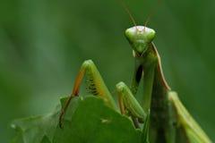 螳螂祈祷 免版税库存照片