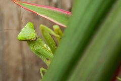 螳螂祈祷 库存照片
