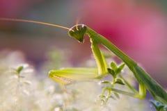 螳螂粉红色 库存图片