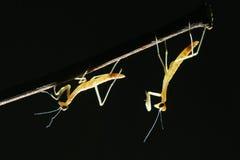 螳螂若虫 库存图片
