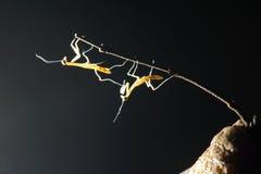 螳螂若虫 库存照片
