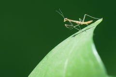螳螂若虫 免版税库存照片