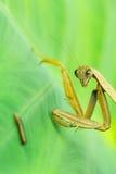 螳螂观看幼虫 图库摄影