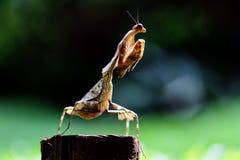 螳螂,动物,宏指令, bokeh,昆虫,自然, 免版税图库摄影