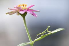 螳螂,我从事园艺的好朋友 库存图片