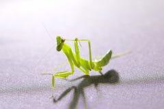 螳螂,祈祷 免版税图库摄影